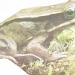 rana-de-ojos-verdes